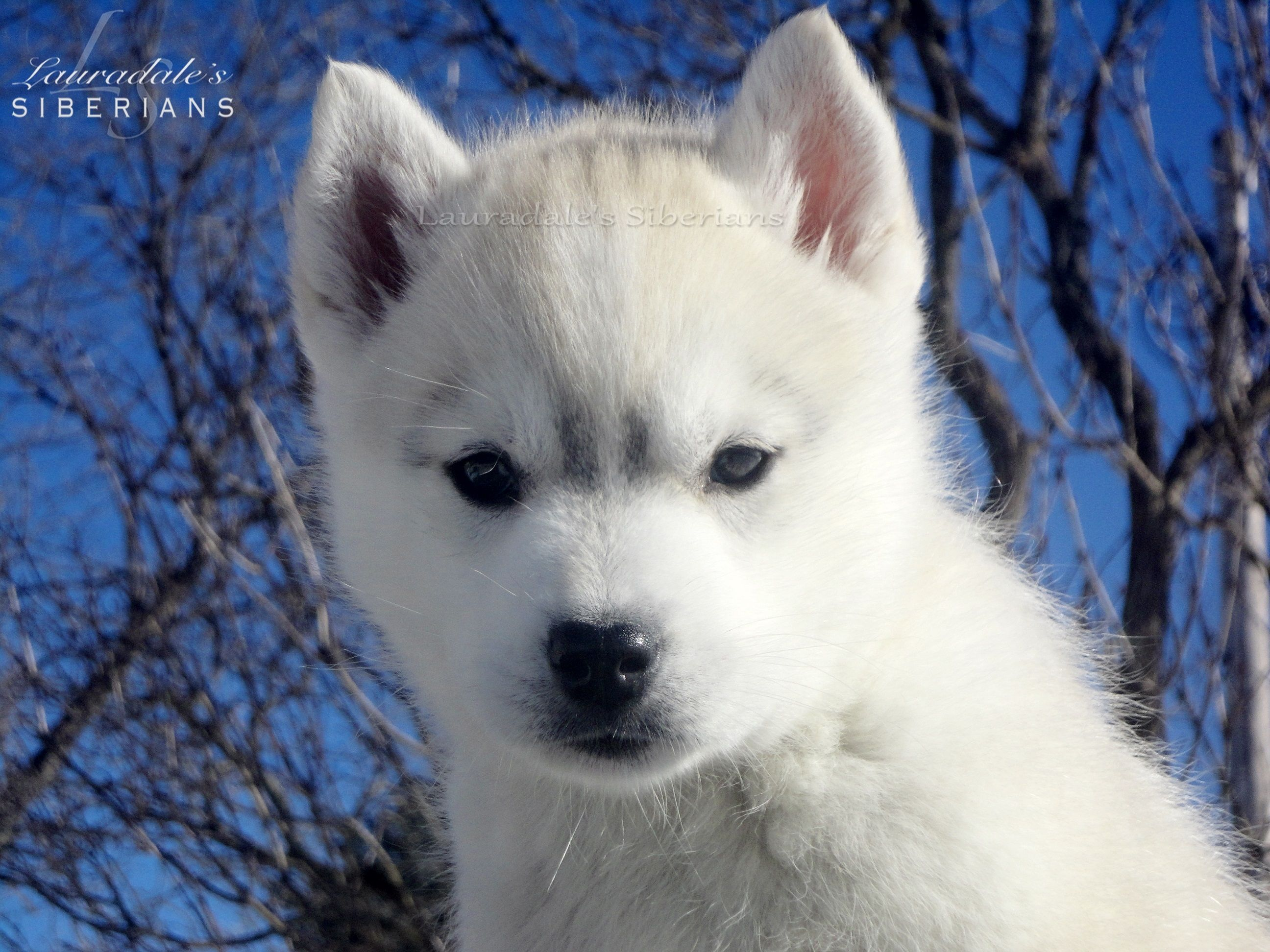 """Grey & white Siberian Husky Puppy! Her name is """"Greige"""