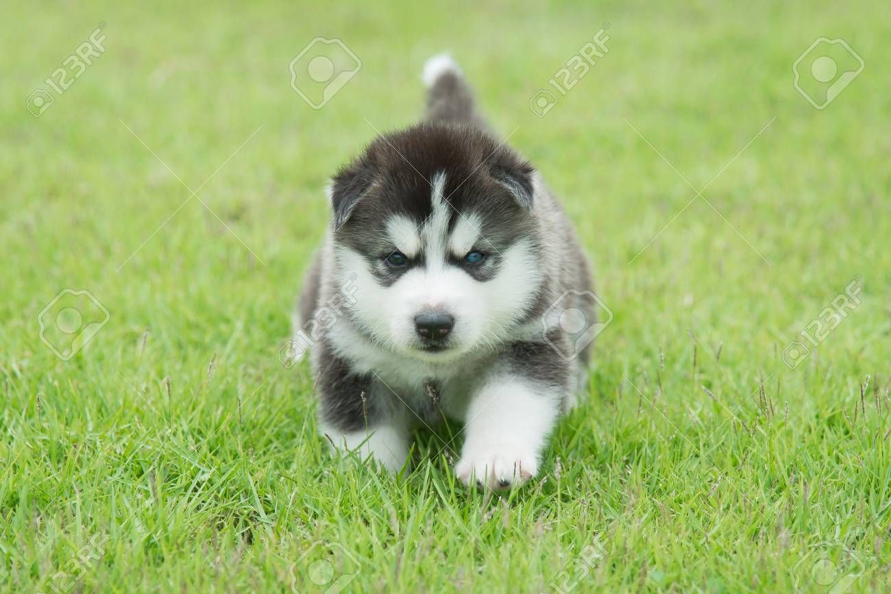 Pin By Caroline Bailey On Animals With Images Cute Husky Puppies Husky Puppy Cute Husky