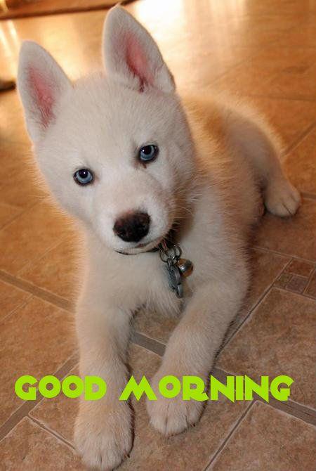 Good Morning Puppies Siberian Husky Puppies Siberian Husky