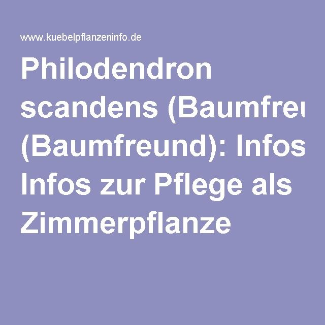 Philodendron scandens (Baumfreund [Brasil]): Infos zur Pflege als ...