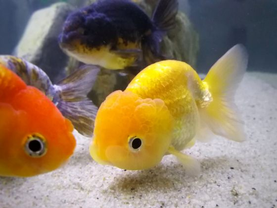 About Ranchu Goldfish Goldfish Goldfish Aquarium Goldfish Pond