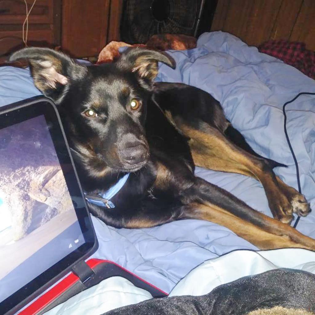 Back Home Dog German Shepherd Dog Liberty Twp