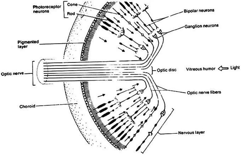 Image Result For Human Eye Anatomical Figure