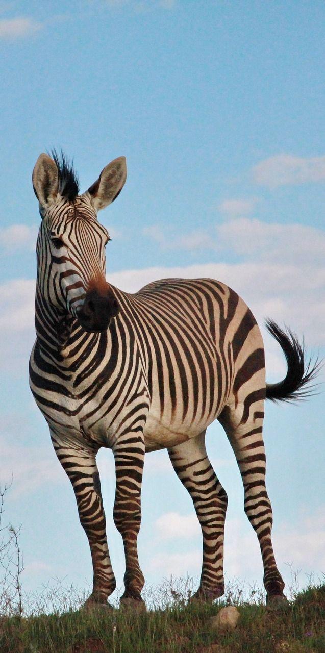 Picture of a zebra stallion
