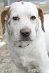 Adopt Sampson On Petfinder Brittany Spaniel Dogs Brittany Spaniel Adoption