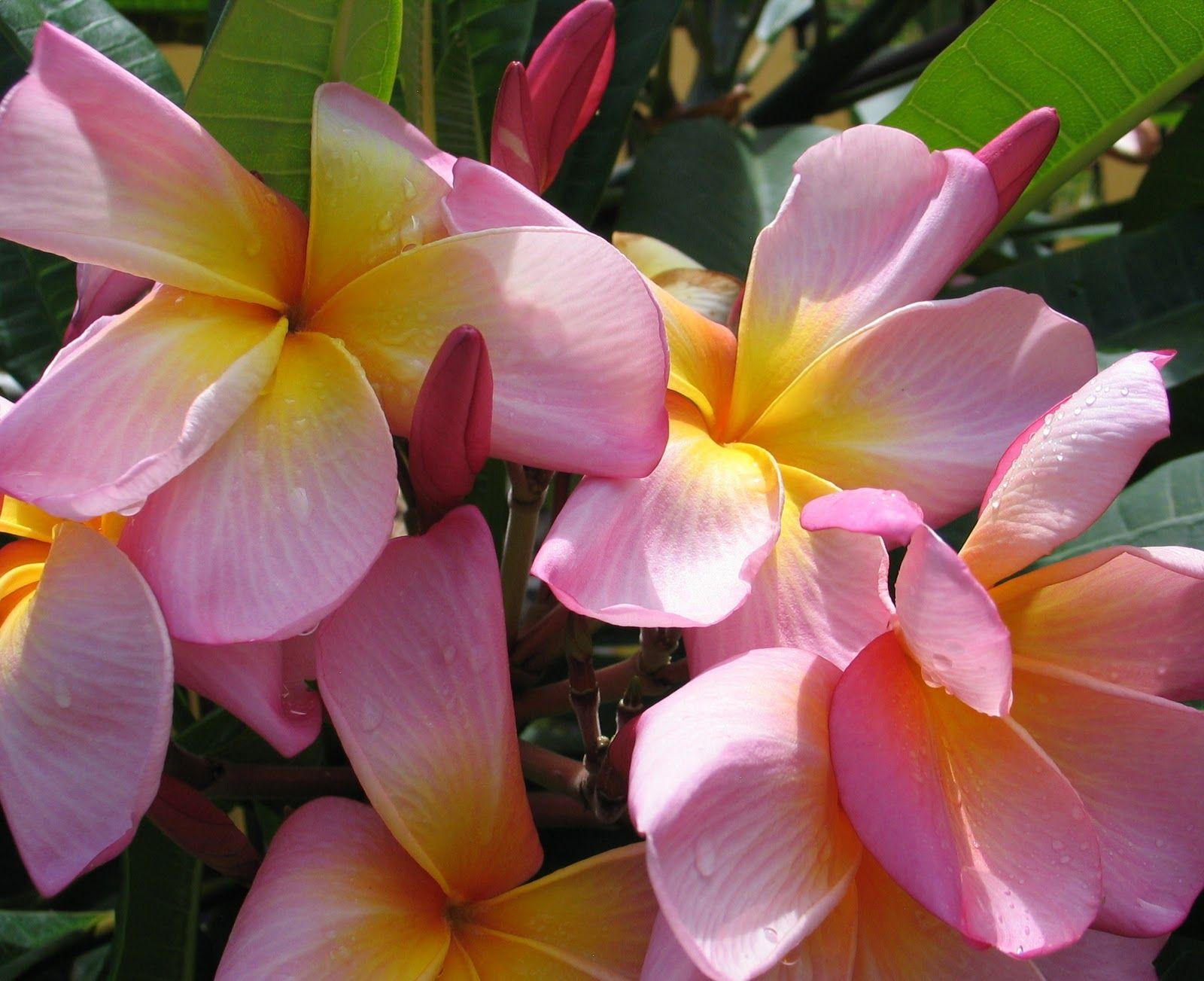 Types of hawaiian flowers tropical flowers plumeria pinterest types of hawaiian flowers tropical flowers izmirmasajfo