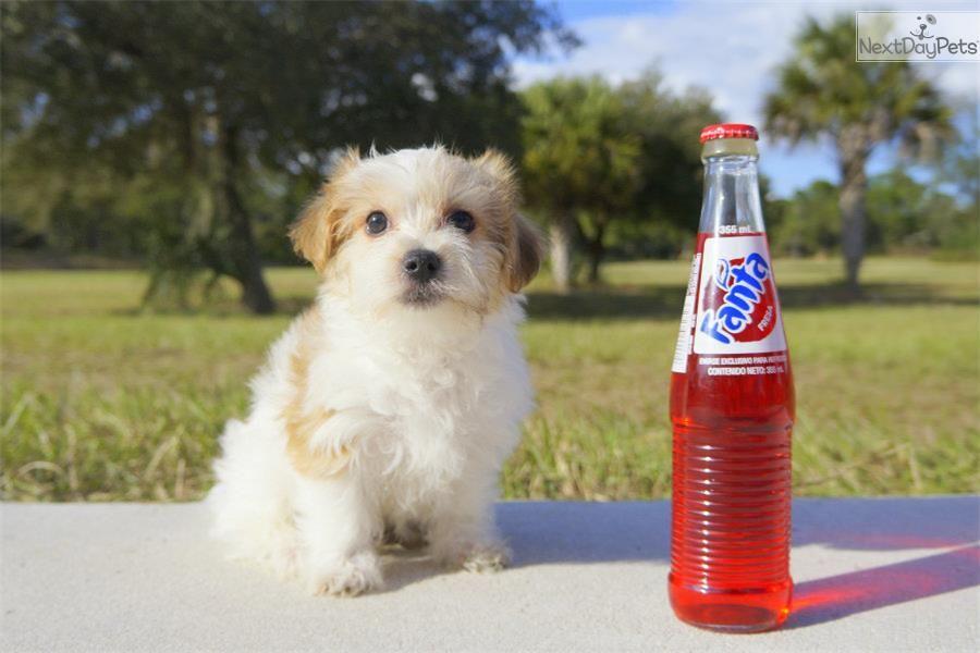 Meet Nice Nicholas The Havanese For Adoption In Fl Havanese Puppies For Sale Havanese For Sale Havanese Puppies