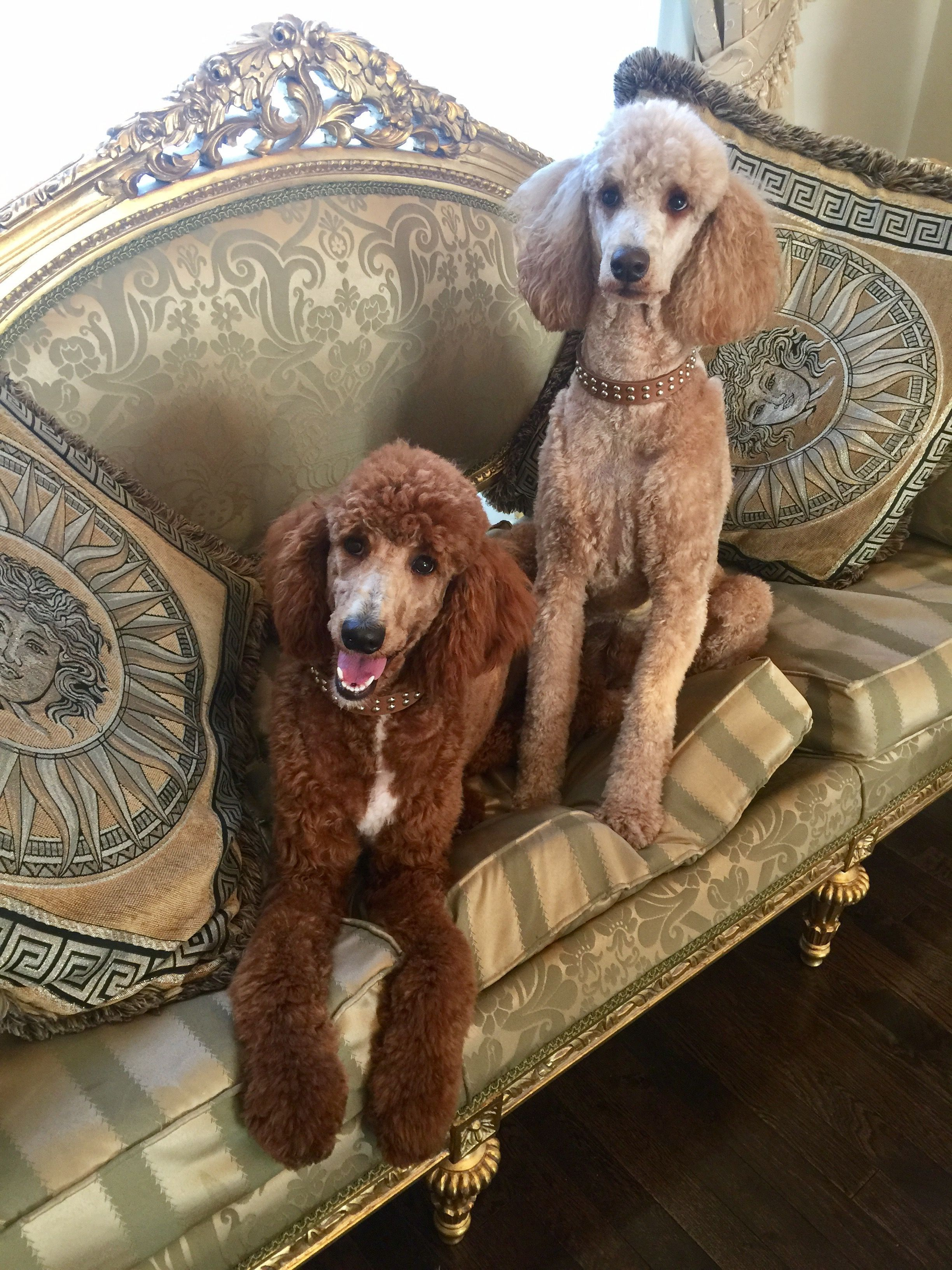 Standard Poodle Storm Bella Dog Trends Poodle Dog Cute Dogs