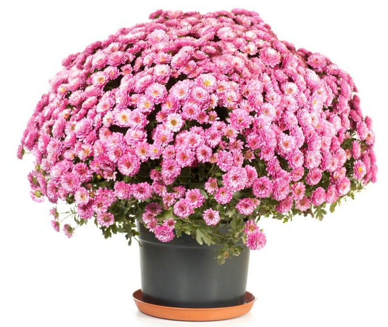 Chrysanthemum In Pots How To Growing Chrysanthemums In A Pots If