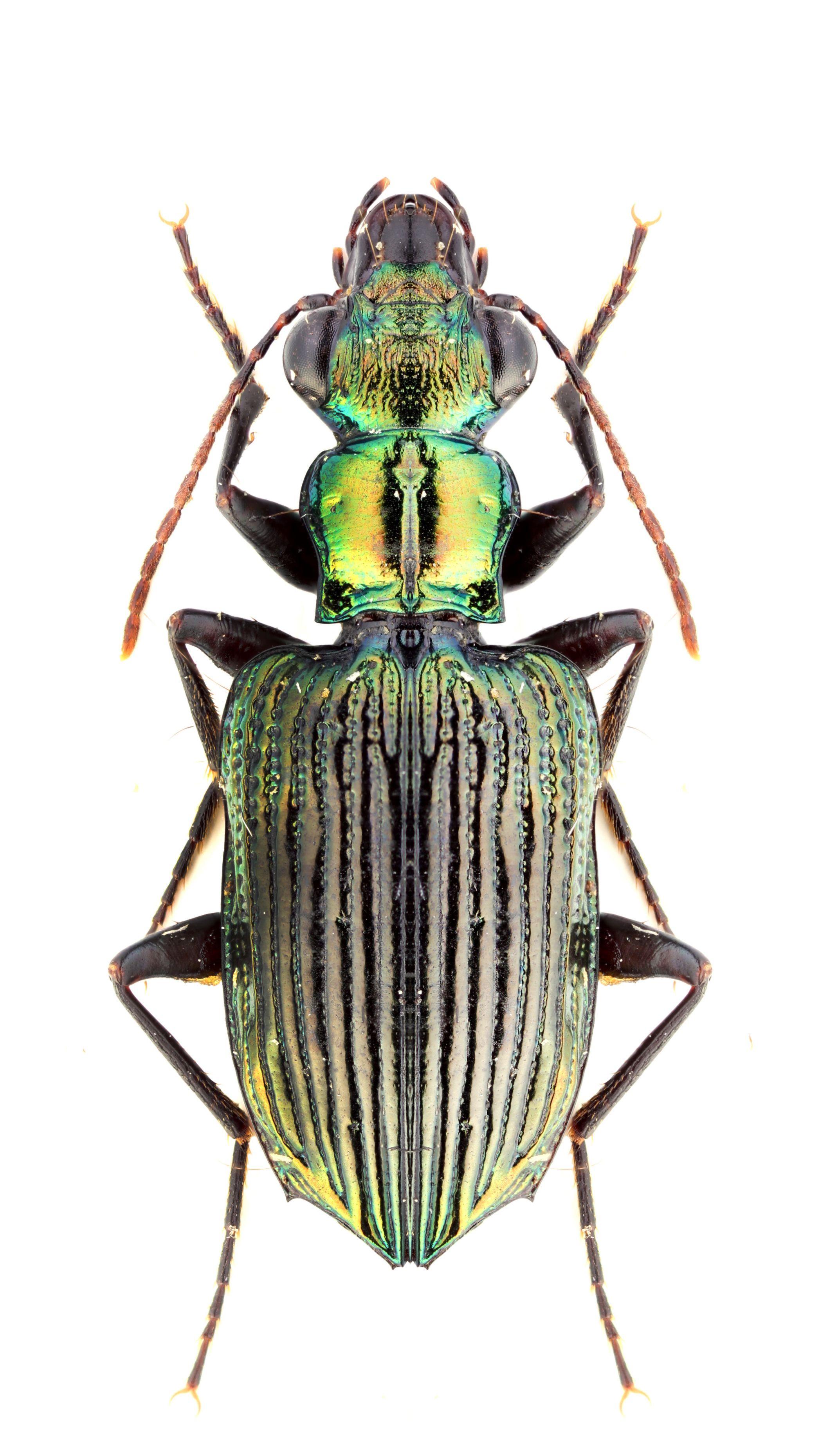 Catascopus punctipennis (Saunfers, 1863) F Carabidae