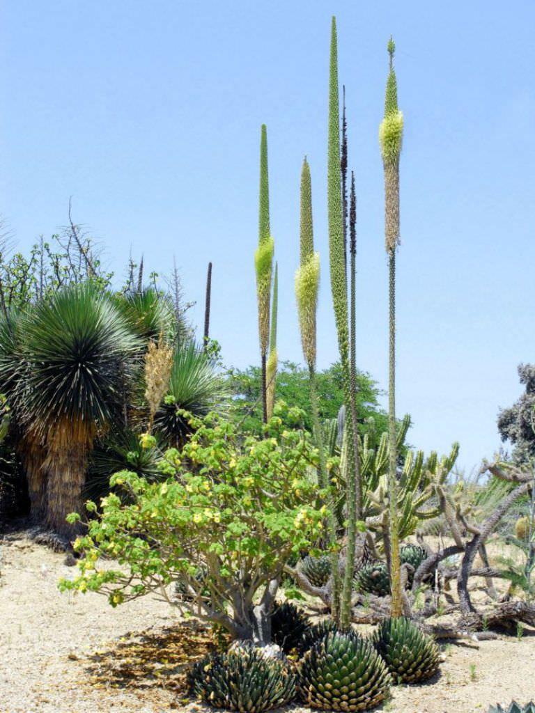 Immagini Di Piante E Alberi agave victoriae-reginae (queen victoria agave) | piante