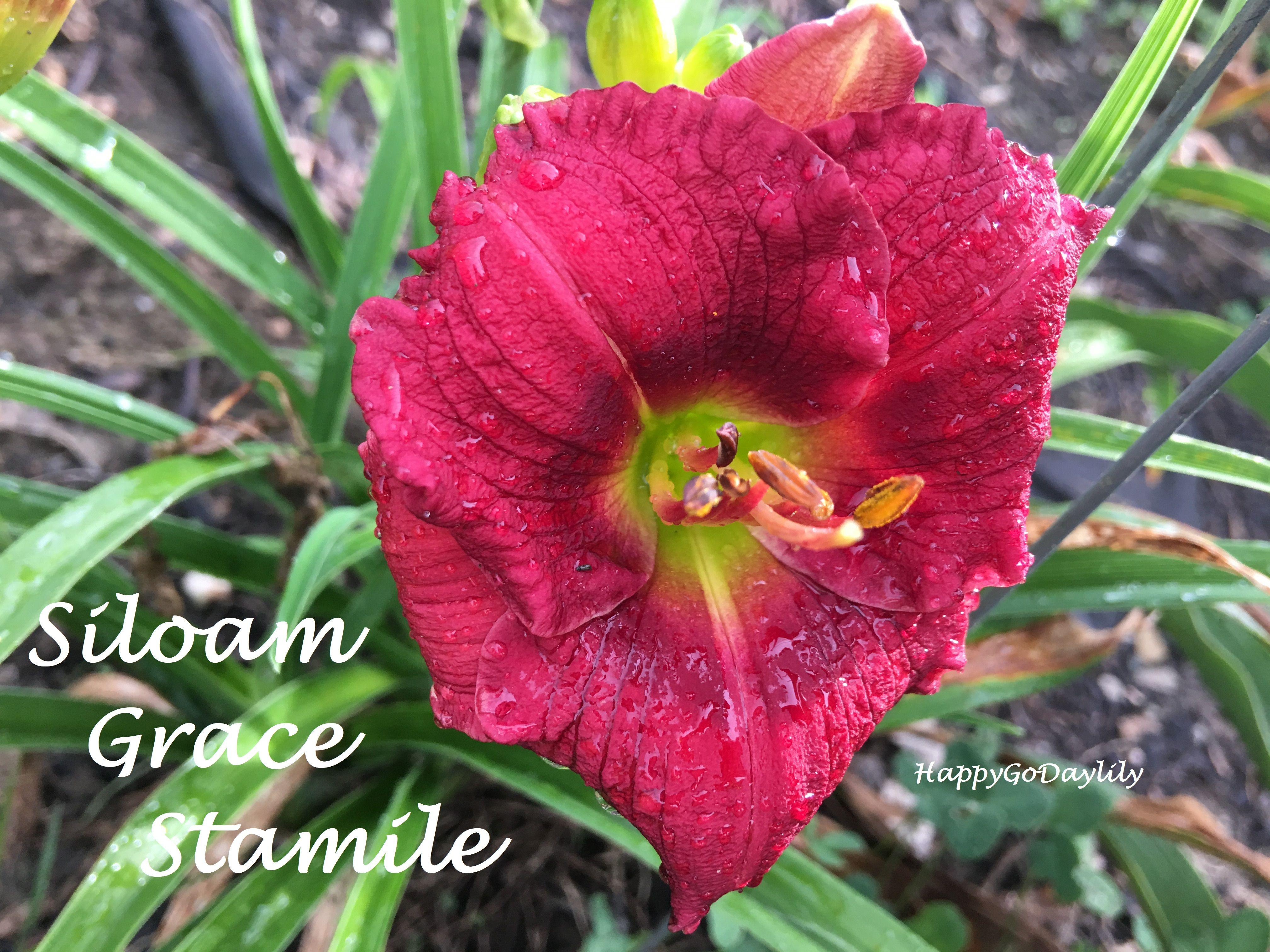 Siloam grace stamile photo by happygodaylily daylilies