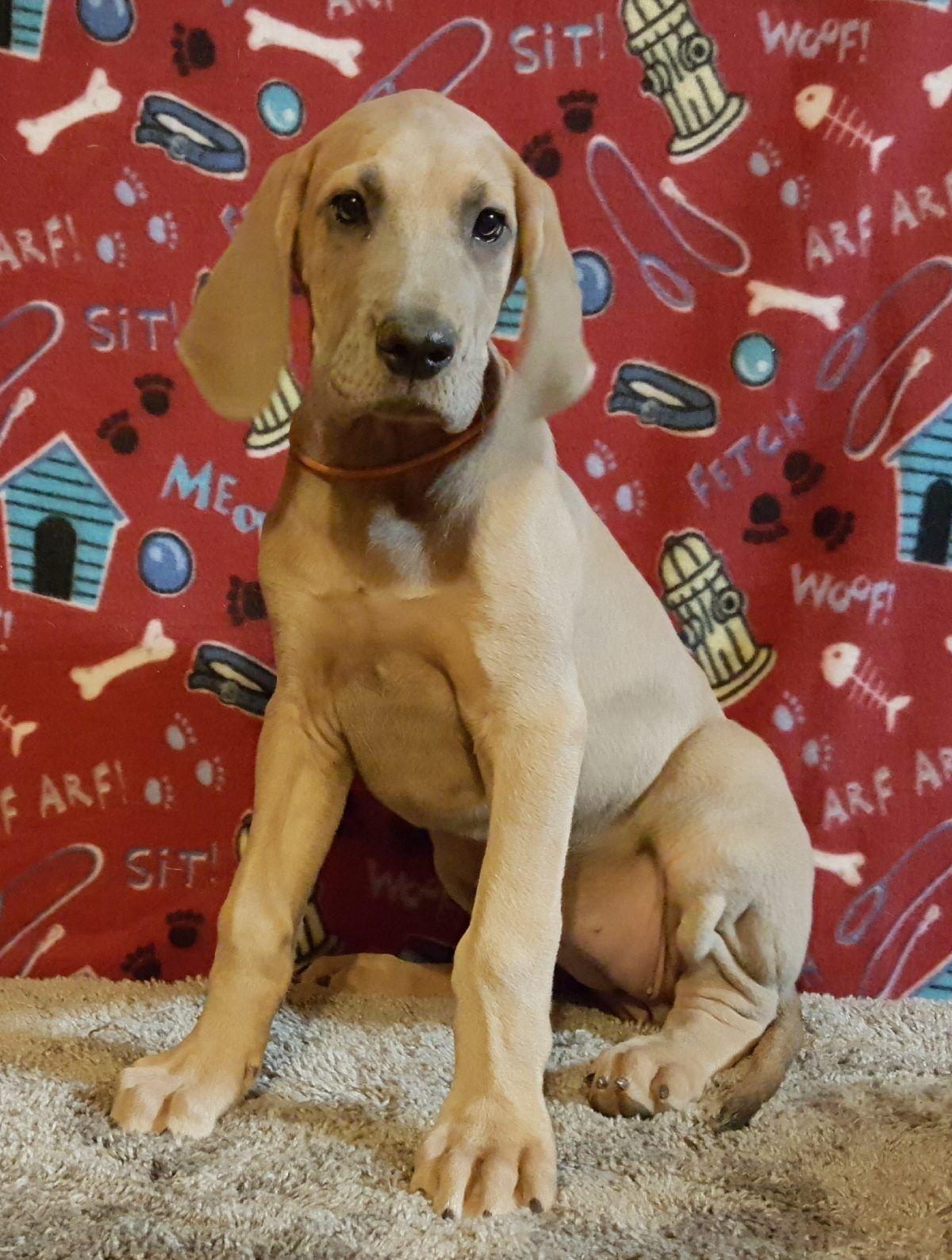 Jane Female AKC Great Dane puppy [Chippewa Falls