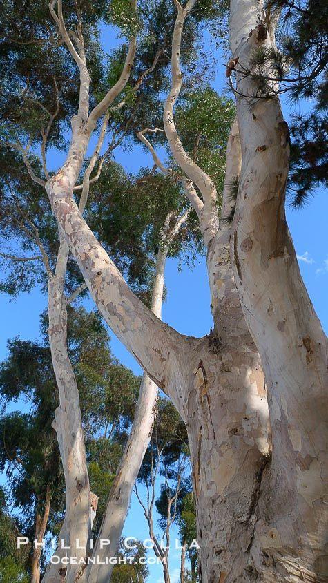 Eucalyptus Tree Gum Tree Tree Eucalyptus Tree Photo Tree