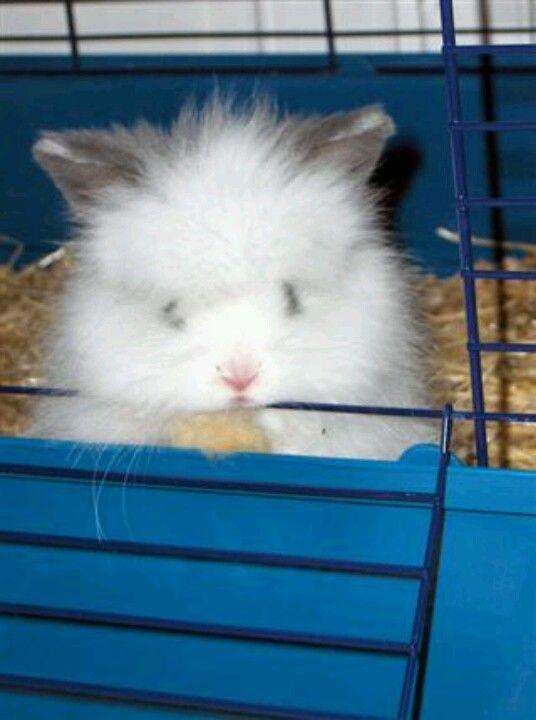 Cute Baby English Angora Rabbit Dieren Konijn Engel