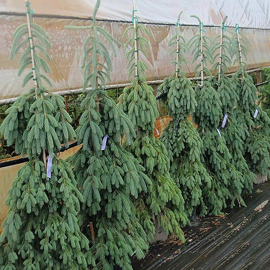 Weeping white spruce evergreen trees pinterest white for Small trees for corner of house