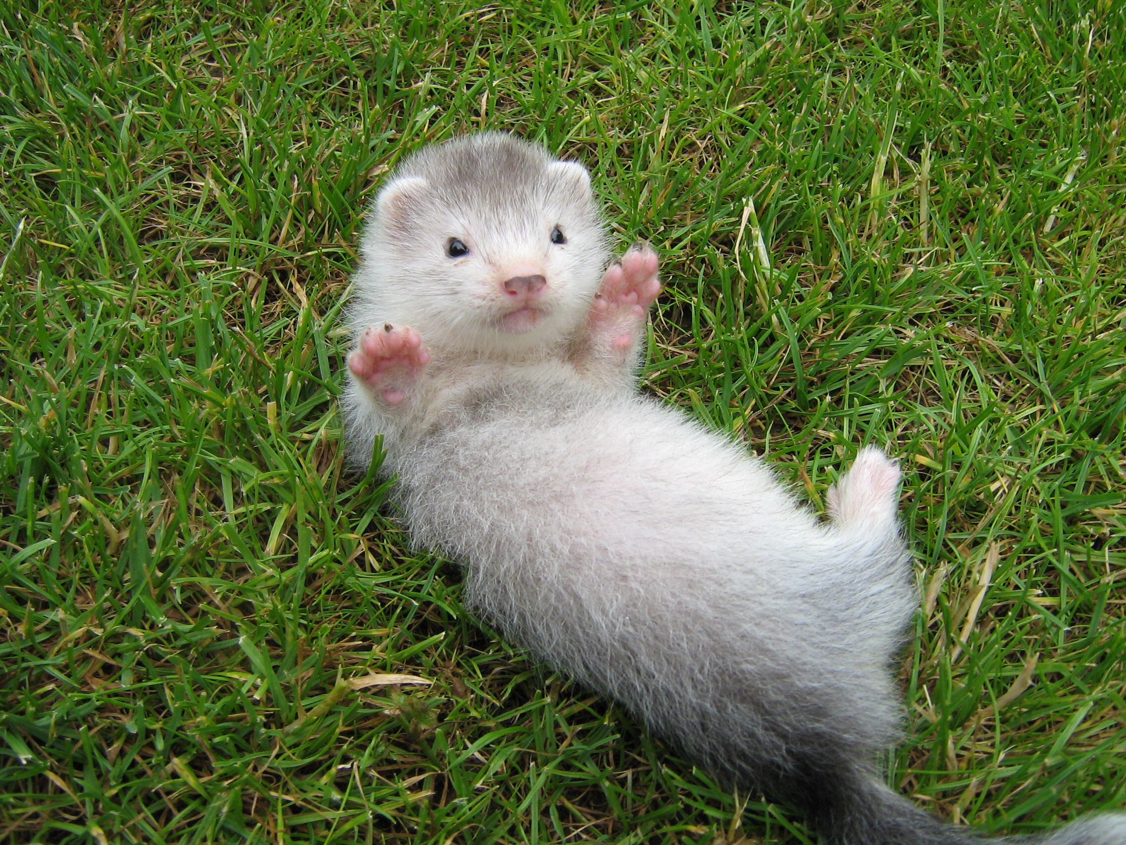 How Lonwg Do Ferrets Live Cute Ferrets Pet Ferret Baby Ferrets