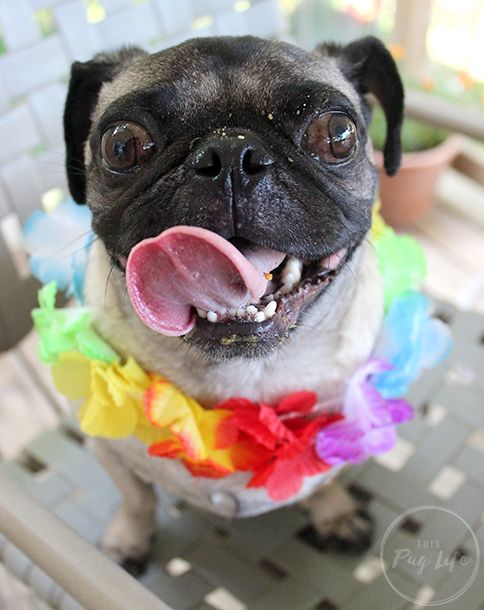 Enjoy A Taste Of The Tropics With Grandma Lucy S Giveaway Pugs