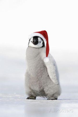 Emperor Penguin Chick Wearing Hat Valokuvavedos AllPosters.fi-sivustossa