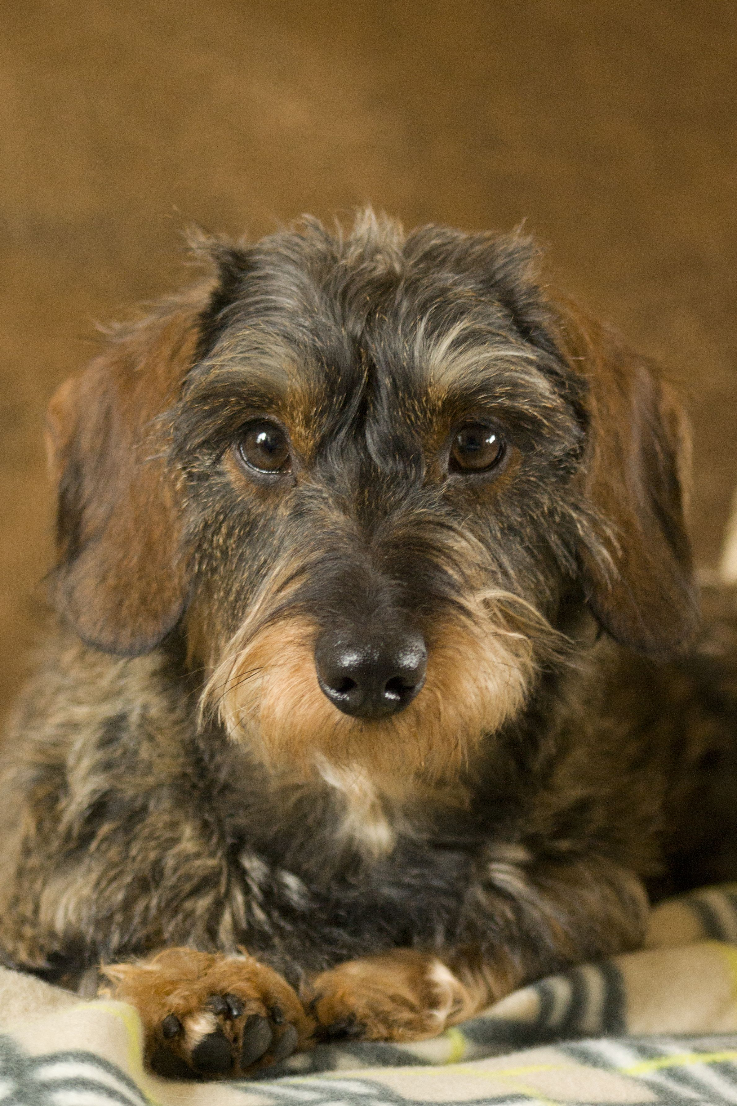 This Is Dora My Parent S Wirehaired Dachshund Wire Haired Dachshund Dachshund Dog Dachshund
