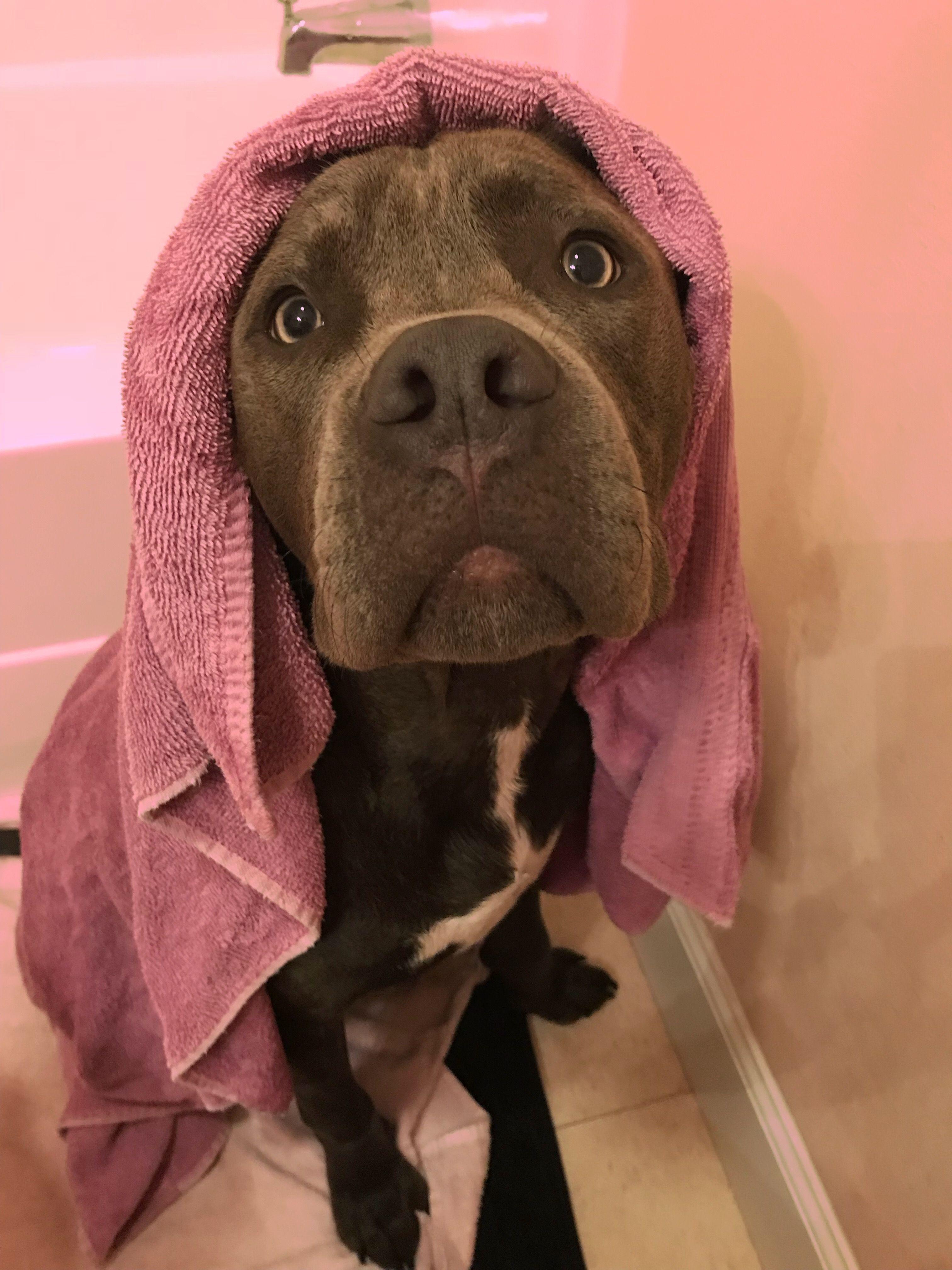 Cute Pitbull Love Pink Bath Sweet Baby Grey Pit Grey