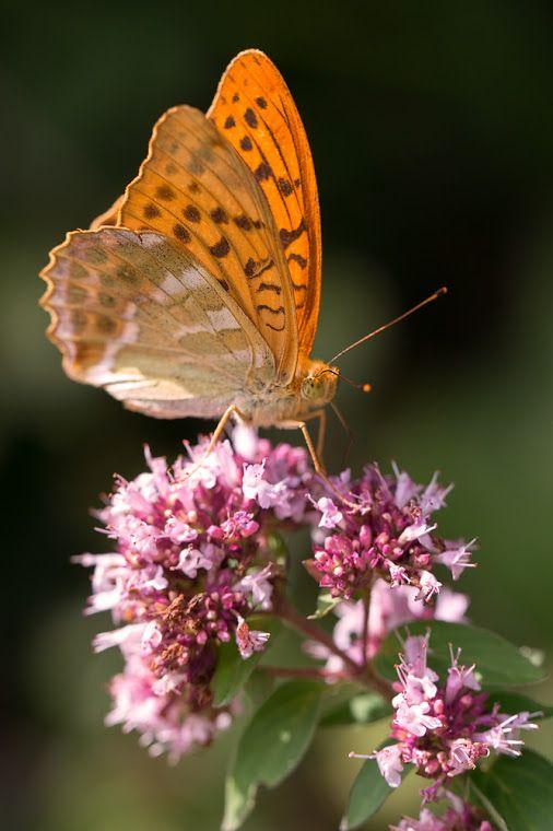 Kaisermantel Silver Washed Fritillary Argynnis Paphia Ein Typischer Wald Krafttier Schmetterling Tiere