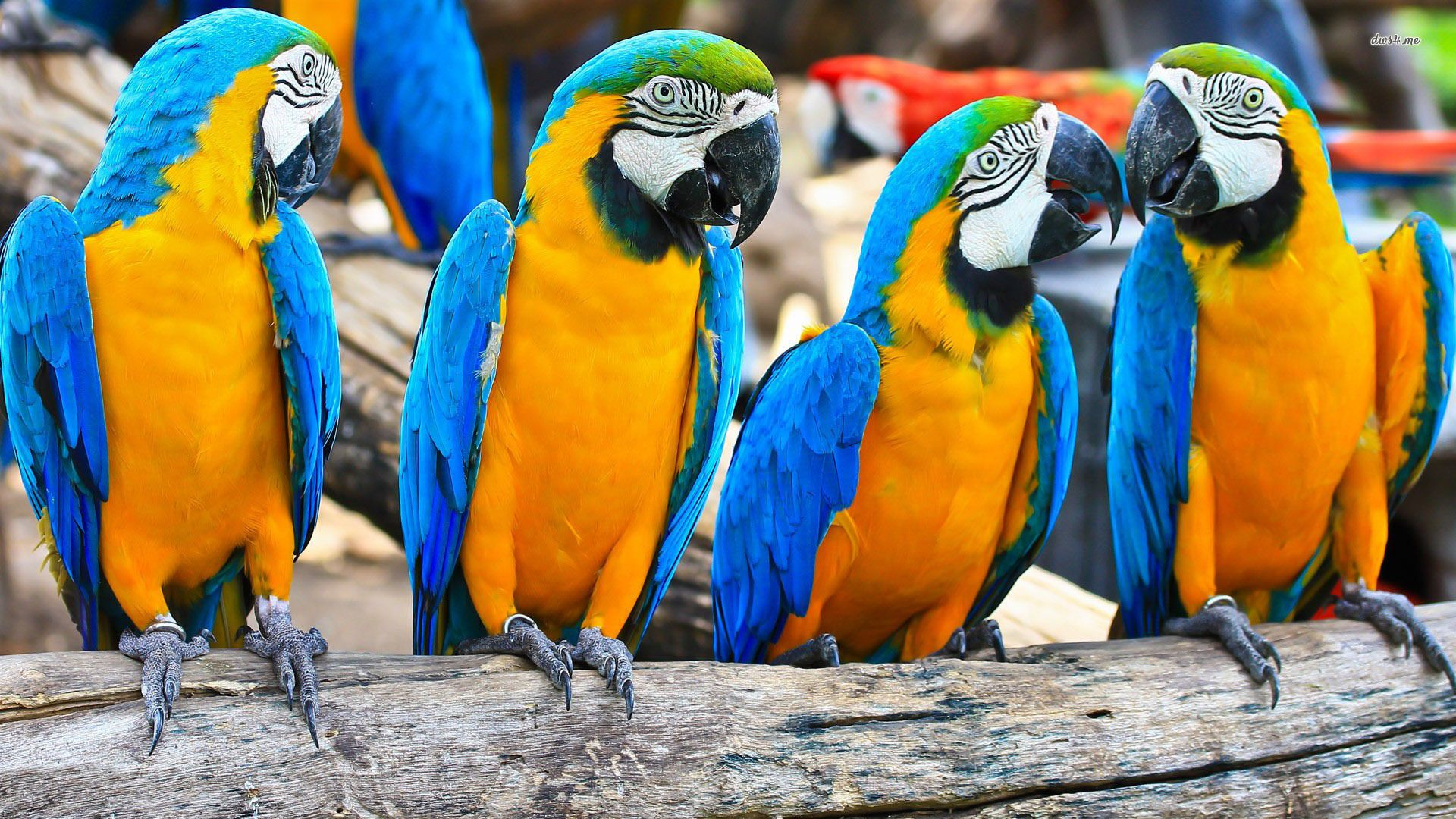 Blue and Gold Macaws with green winged/ scarlet macaw in backaround