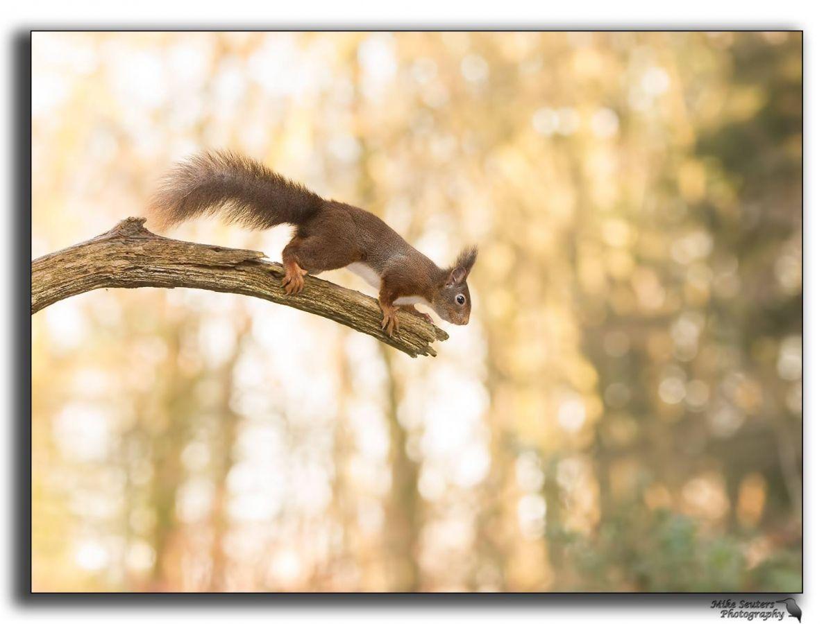Springen of niet.... - Zoogdieren (bever, vos, muis) - Eekhoorn