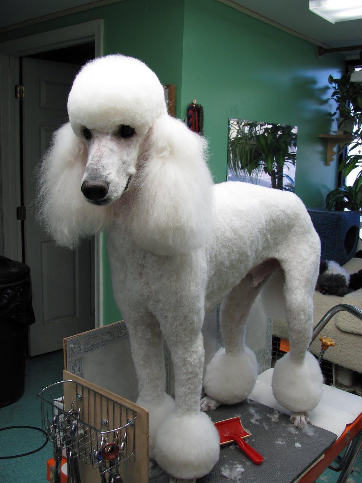 Standard poodle haircuts or of unless soft haircuts standard poodle - Different Style Poodle Cuts