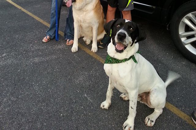 Great Dane Who Was Almost Euthanized 4 Years Ago Has Happy Family Great Dane Dog Clicker Training Positive Dog Training
