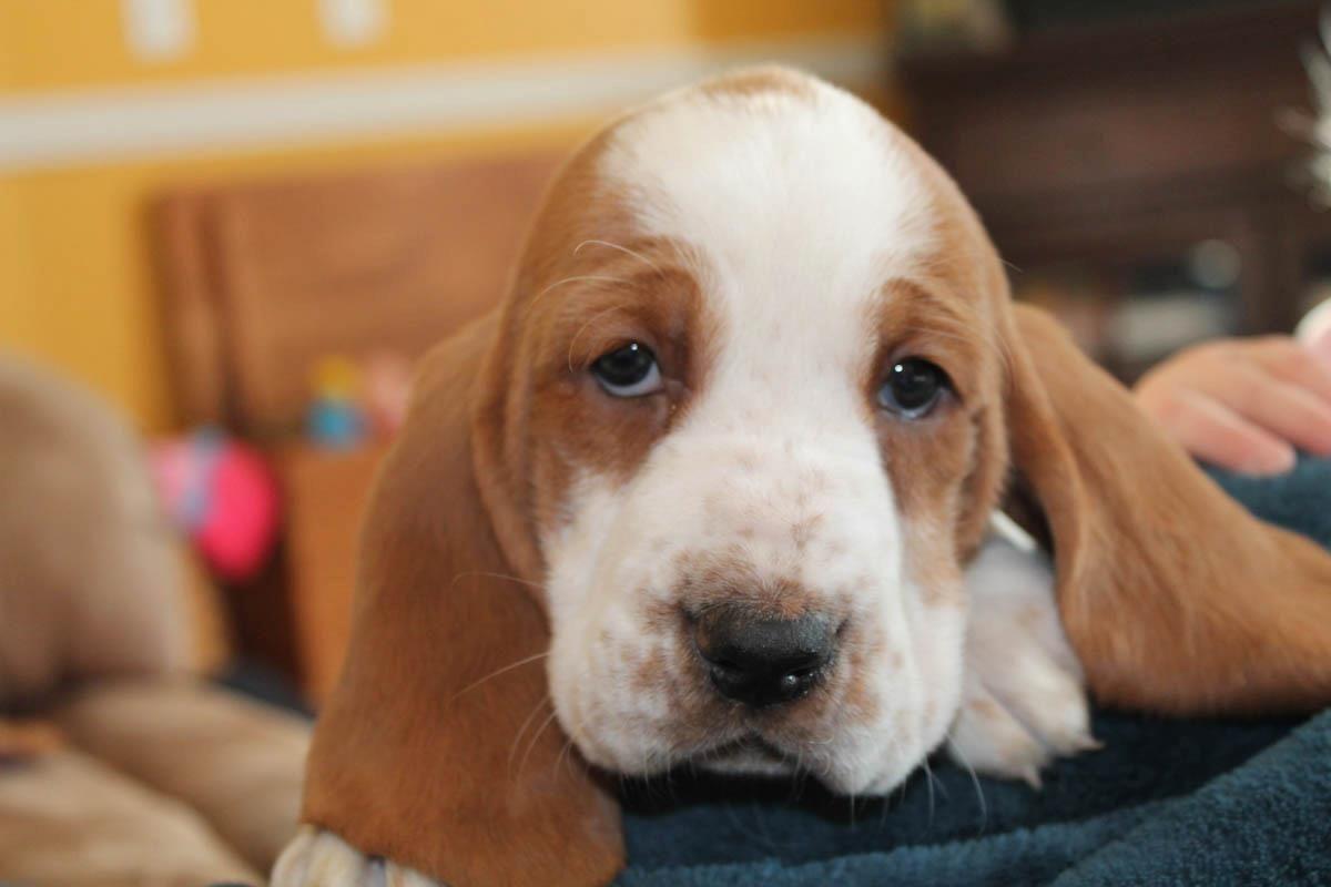 This Is My New Baby Basset Hound Chubbs Imgur Baby Basset Hound Basset Hound Basset Hound Puppy