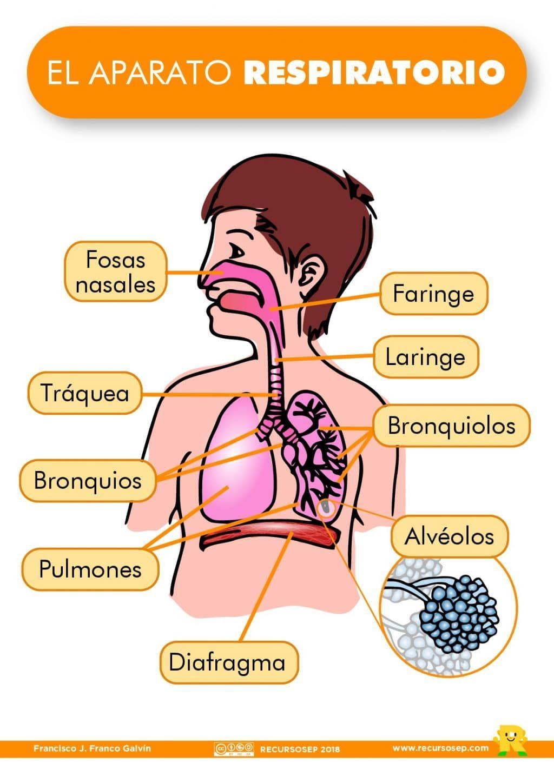 El Aparato Respiratorio Recursosep 001 Sistema Respiratorio Para