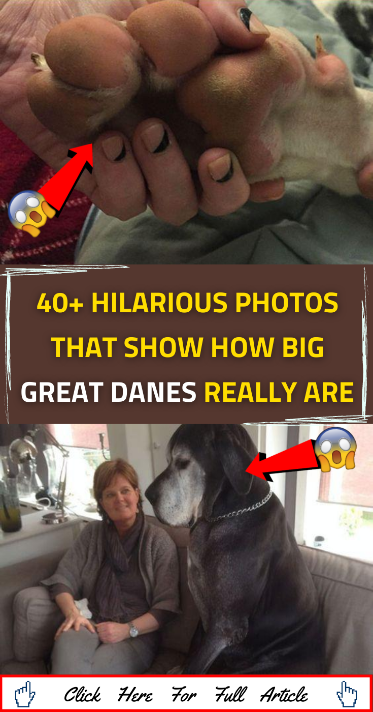40+ Hilarious Photos That Show How Big Great Danes Really Are