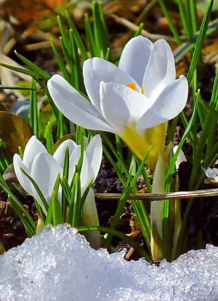 должен цветочки весенние картинки дагенхарт очень неприхотливая