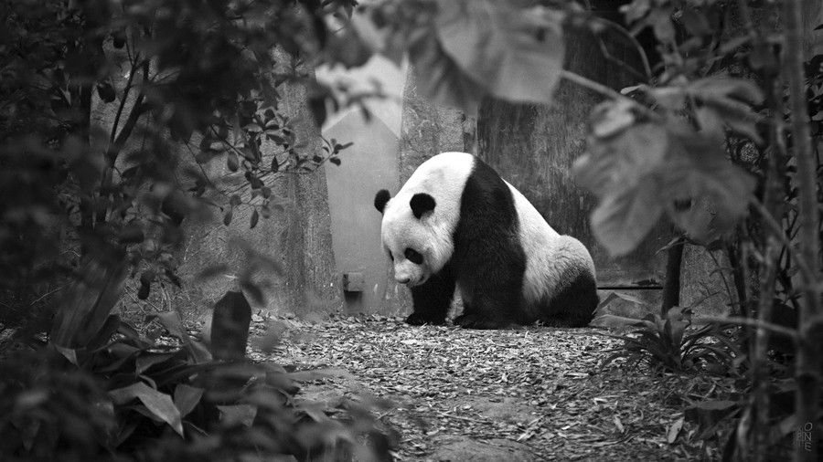 PANDA ! by Pelixiano Saputranovic on 500px