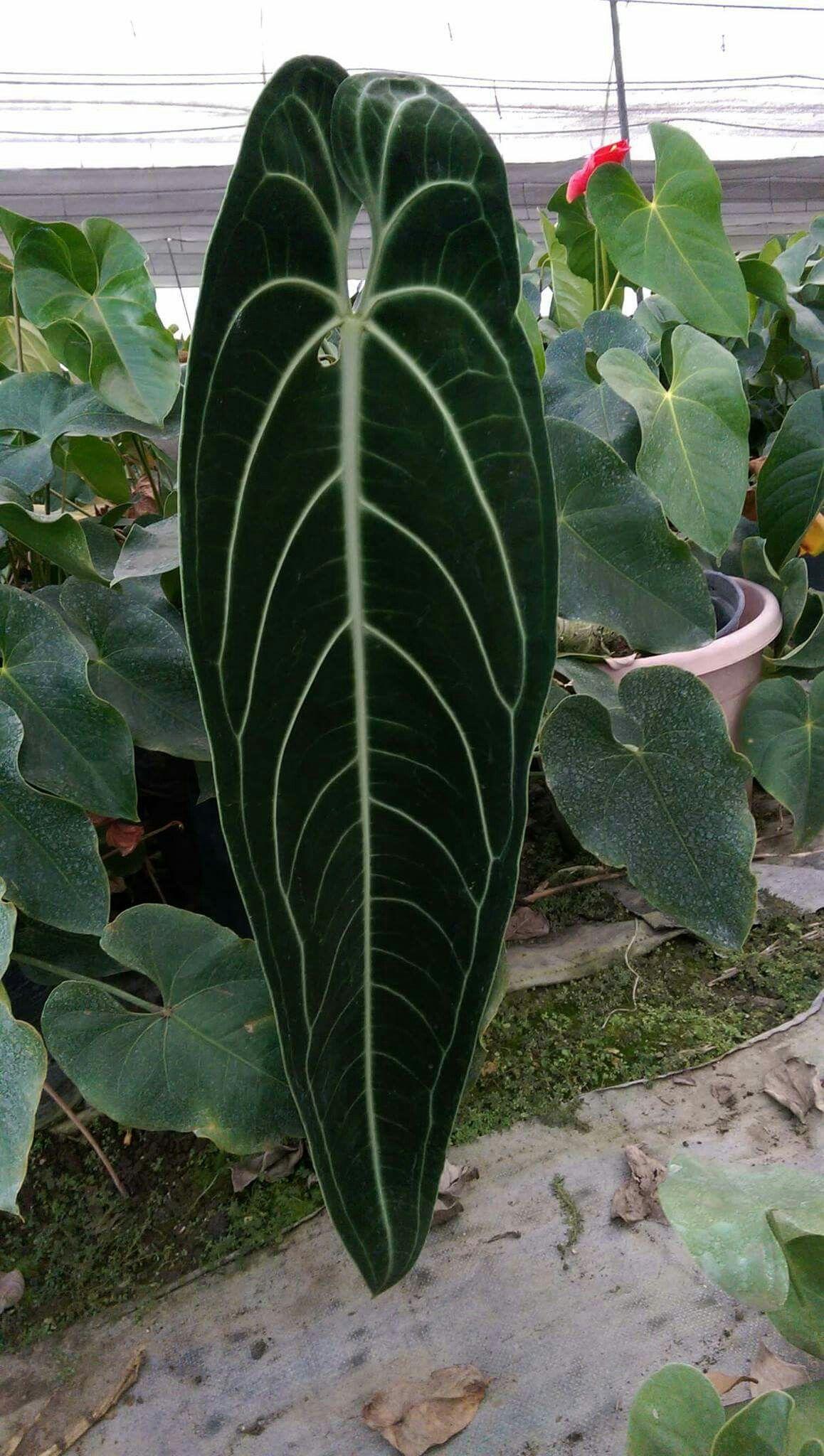 Anthurium Warocqueanum Plants Unusual Plants Anthurium Plant