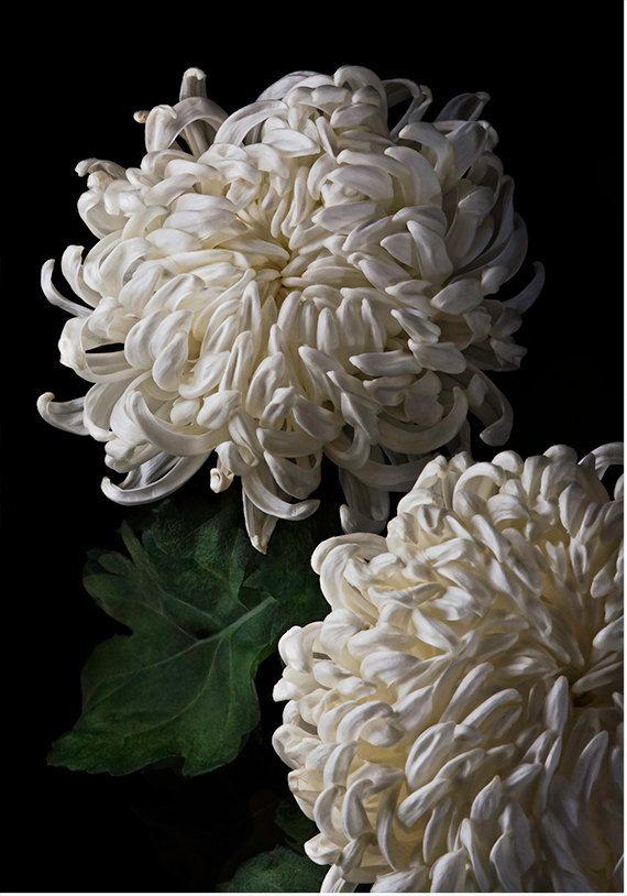 Flower Photography Flower Photograph Fine Art Photography Nature Wall Art Print Decorative Arts White Fuji Mum 1404 Flowers Photography Chrysanthemum Flowers