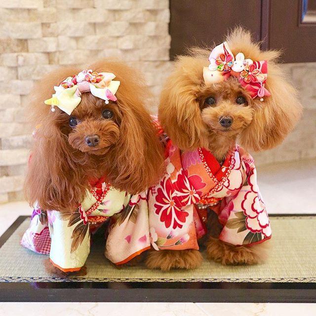 ペット おしゃれまとめの人気アイデア Pinterest たさき ねね ティーカッププードル ワンコ 犬
