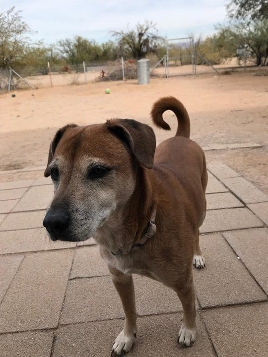 Chiweenie Dog For Adoption In Tucson Az Adn 725030 On