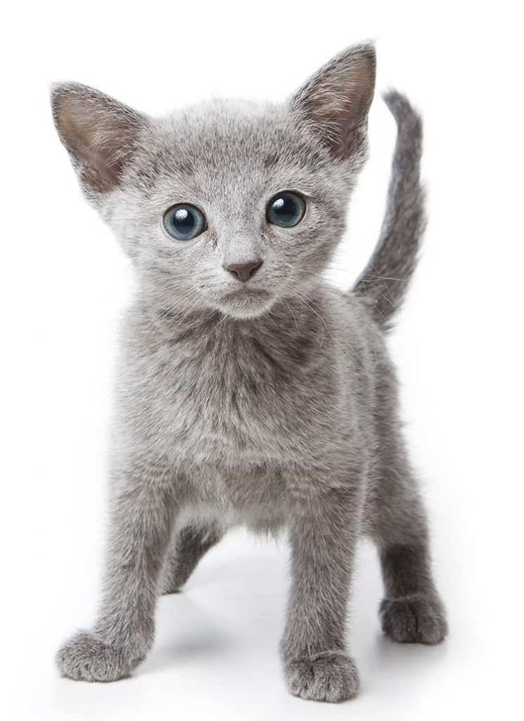 Russian Blue Cat Breed Information Center A Guide To The Russian