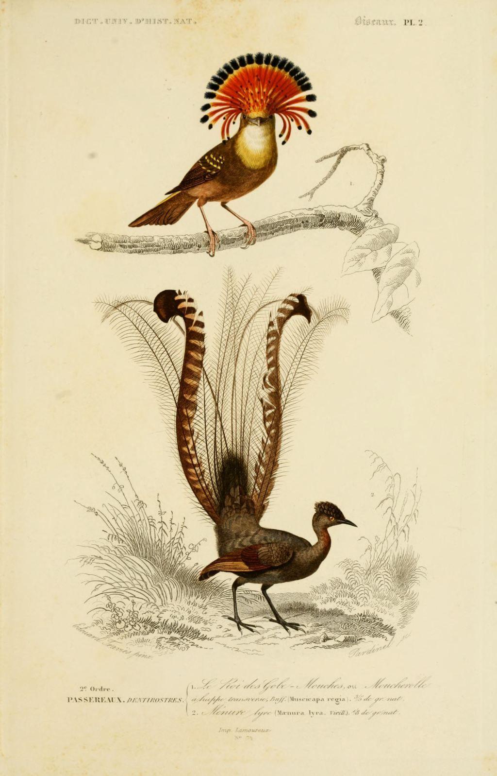 Gravures couleur d 39 oiseaux gravure oiseau 0177 menure lyre maenura lyra passereau - Oiseau mouche dessin ...