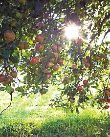 Everything You Need To Know About Hints and Tips for Picking Apples and Making Applesauce
