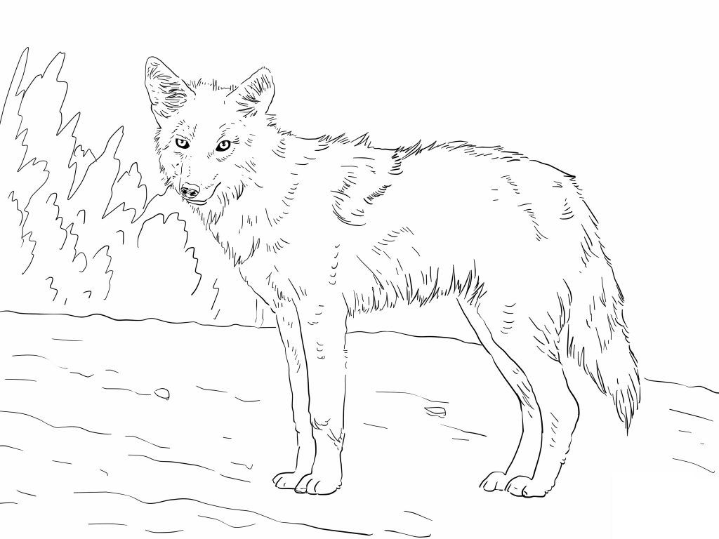 Superieur Free Printable Coyote Coloring Pages