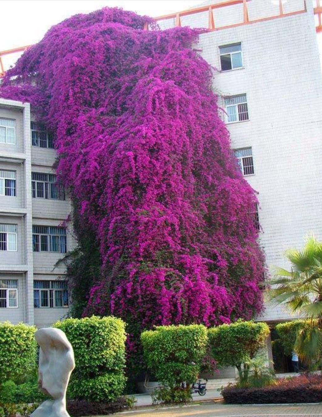 Árvore conhecida como primavera tem 30 metros de altura e cobre todo o prédio da Universidade de Nanning, China.