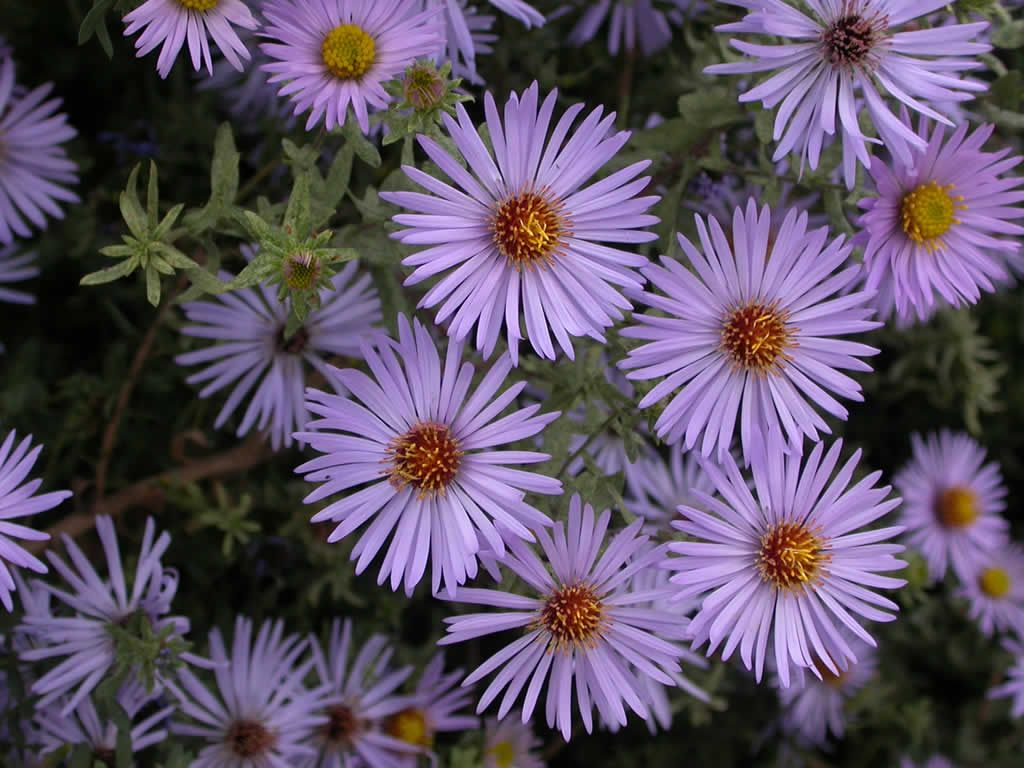 36 Awesome purple flowers names images Purple flower