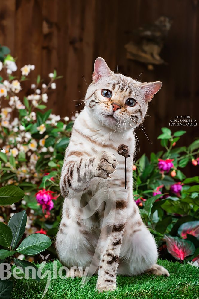 Bengal Cat Cute Cats And Kittens Cats And Kittens Toyger Cat