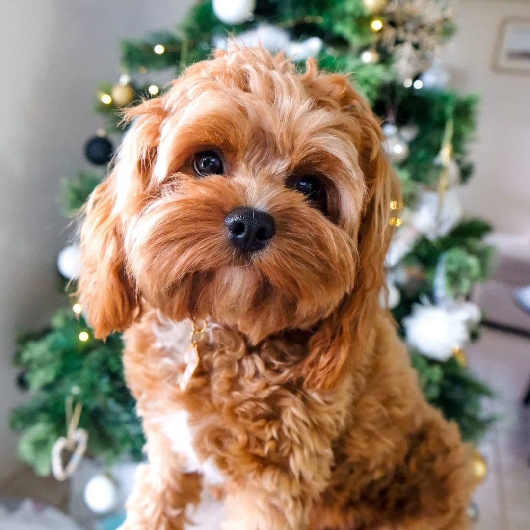 Everything You Need To Know About A Cavapoo Cavapoo Cavapoopuppies Cutepuppies Dogs Dogbeast King Charles Cavalier Spaniel Puppy Cavapoo Cavapoo Puppies