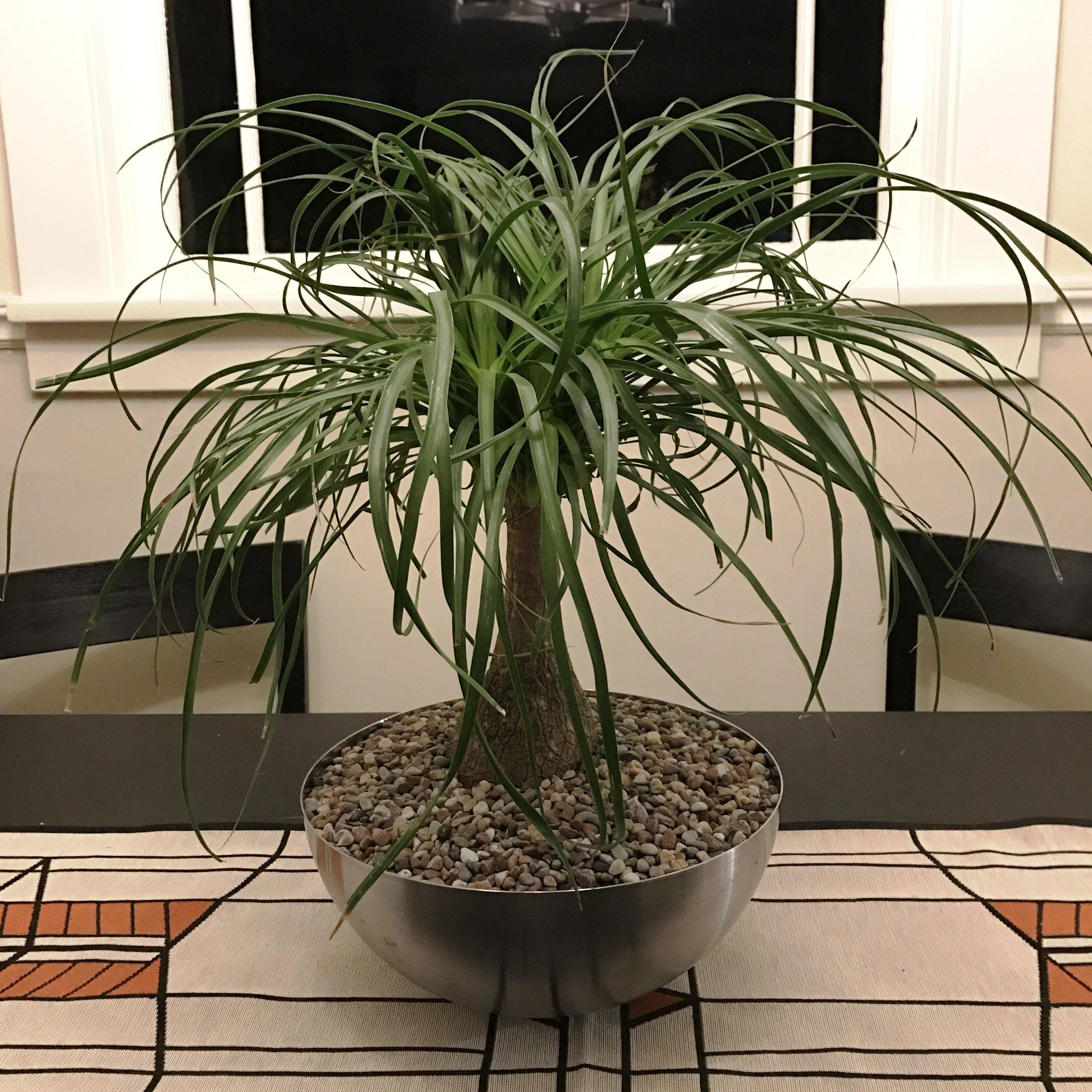 Ponytail Palm Plant (Beaucarnea Recurvata) Palm plant