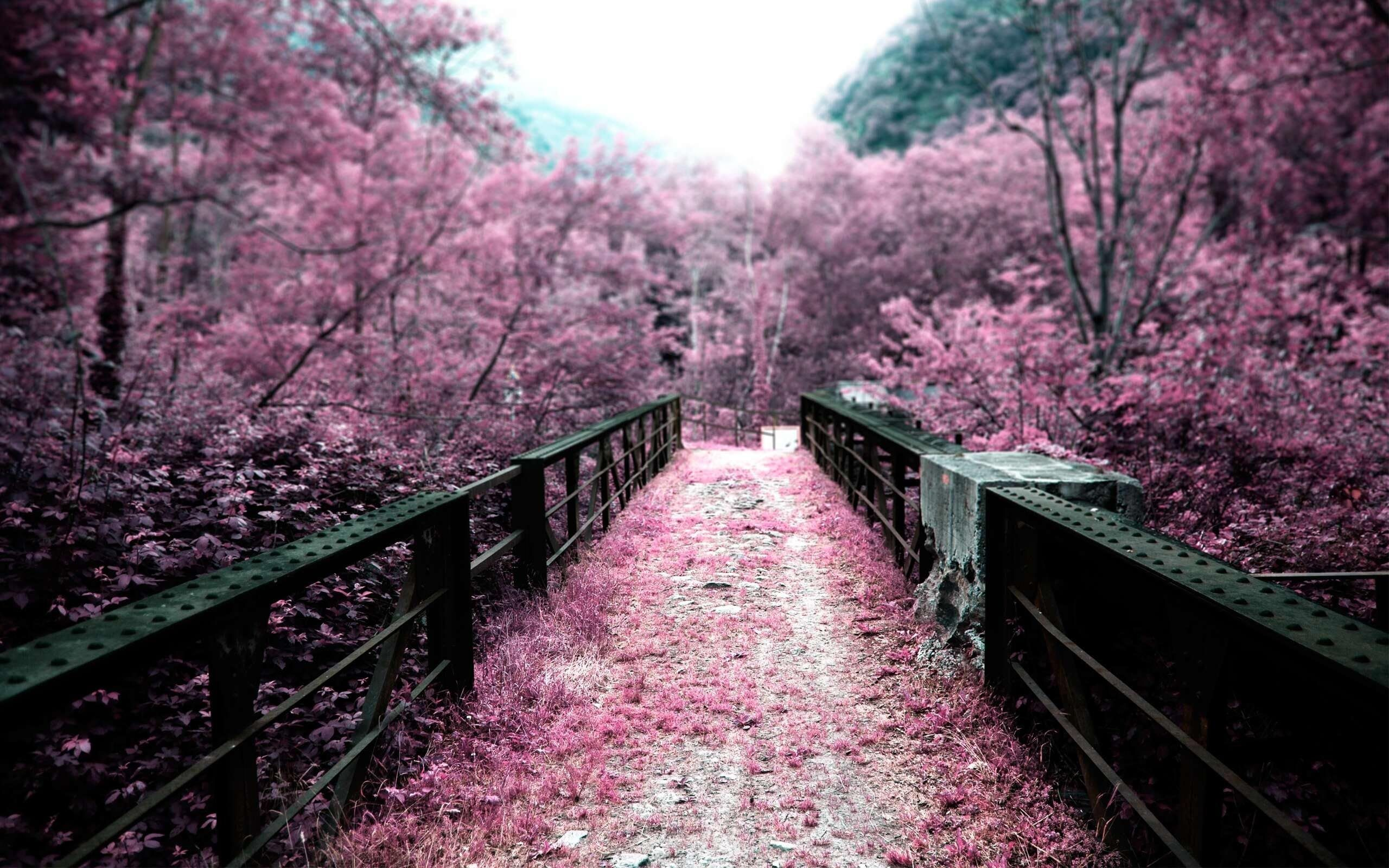 cherry blossoms bridges depth of field selective coloring pink flowers wallpaper background - Japanese Garden Cherry Blossom Bridge