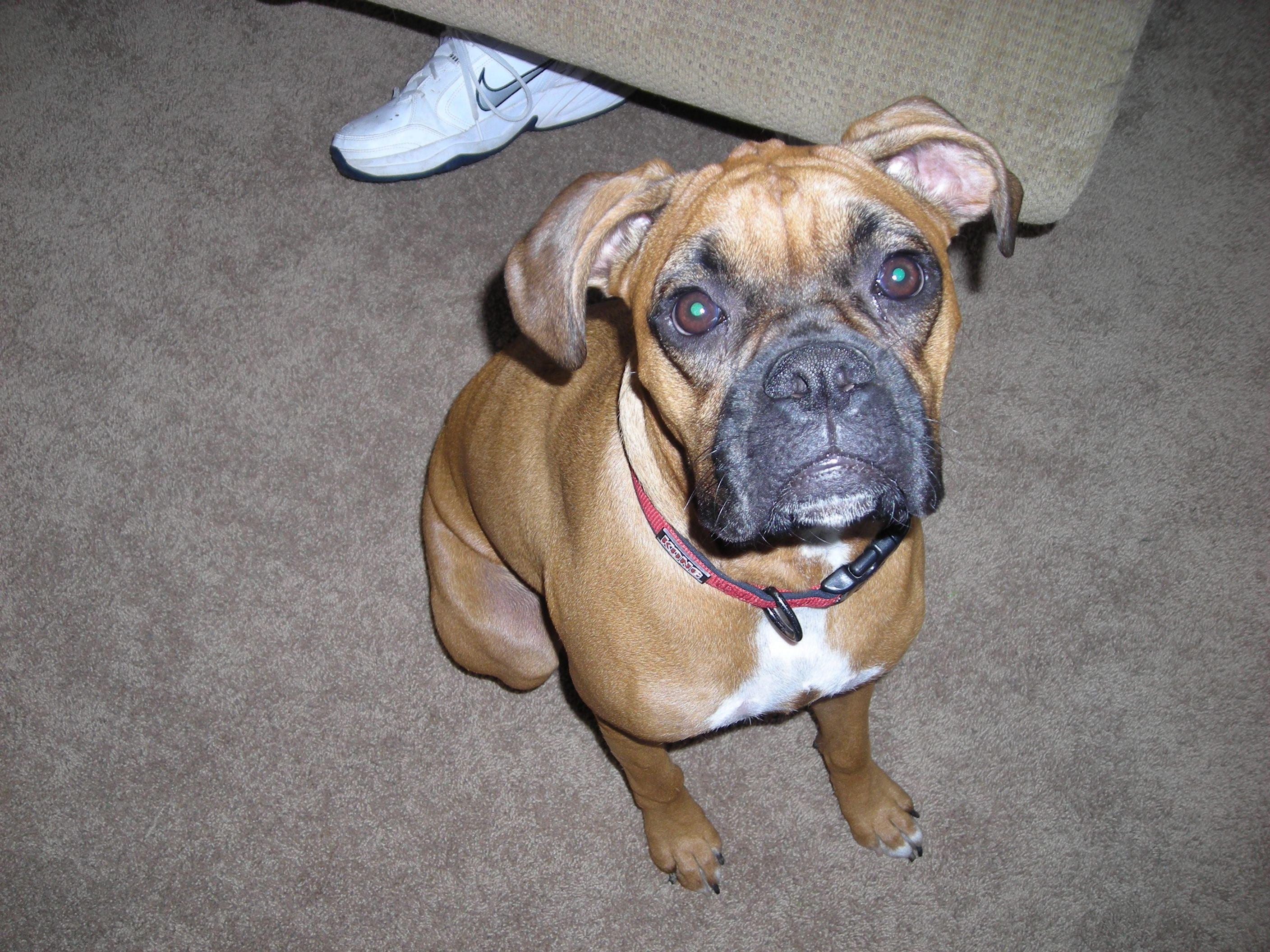This Is Cj She Is A Boxer And Tries To Rule The Rust Boxer Animals Dogs